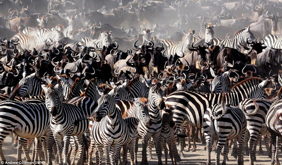 Zebras and wildebeest crowd together in Serengeti National Park, Tanzania by Andrew Coleman