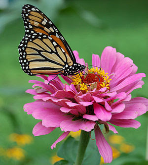 Adult monarch butterfly feeding on a Zinnia