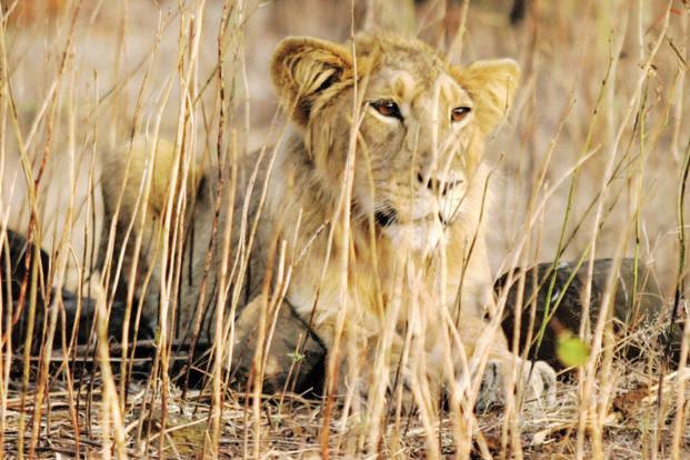 Gir lions' relocation to Madhya Pradesh faces hurdle