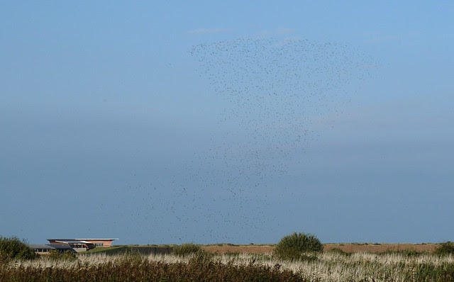25201 - Golden Plovers, Titchwell