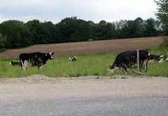 Cows_60709