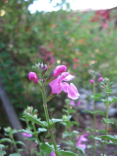 Salvia Pink