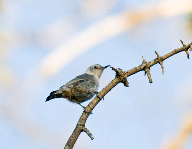 White-breasted Nuthatch (Slender-billed Nuthatch)