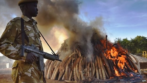 A Kenya Wildlife Service security officer stands near a burning pile of 15 tonnes of elephant ivory seized in Kenya at Nairobi National Park  - 3 March 2015.
