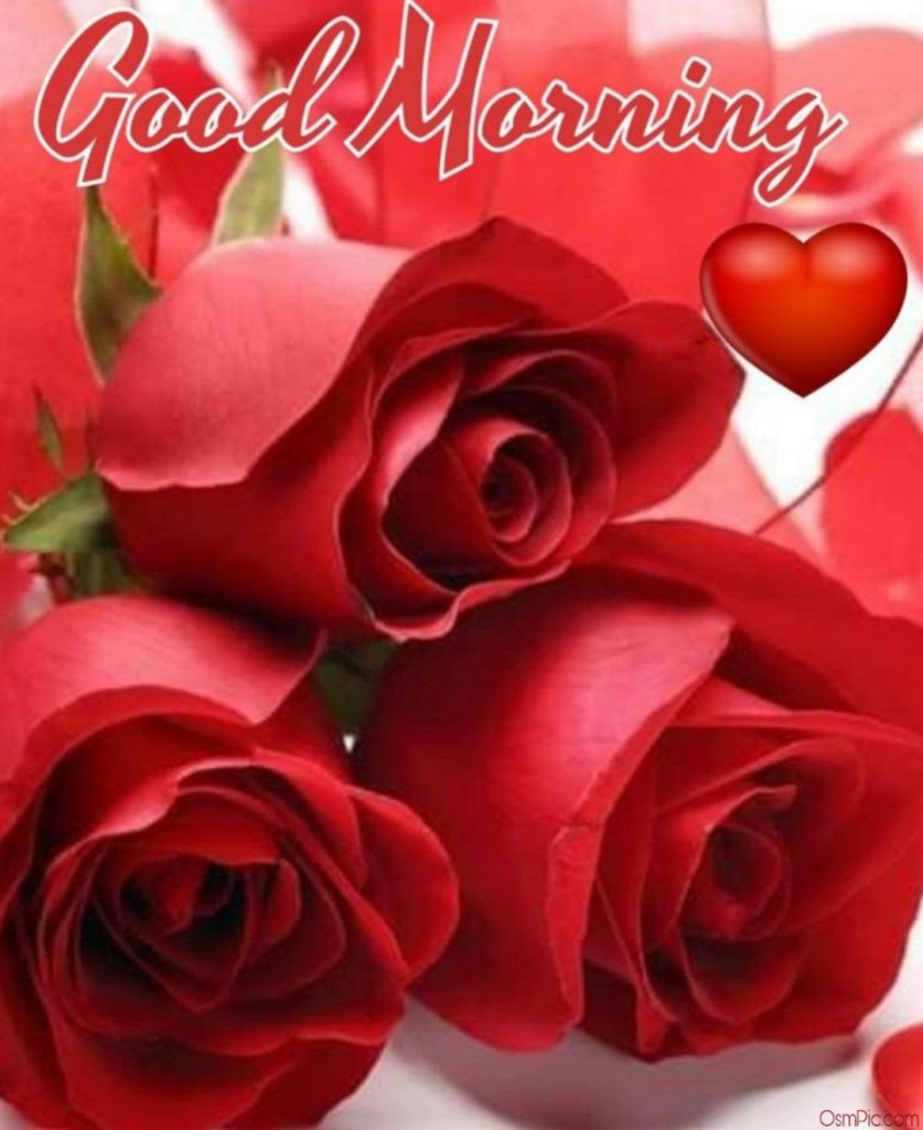 55 Good Morning Rose Flowers Images Pictures With Romantic Red Roses