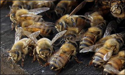 Honeybees brought in by Merrimack Valley Apiaries pollinated cranberries on Nantucket yesterday.