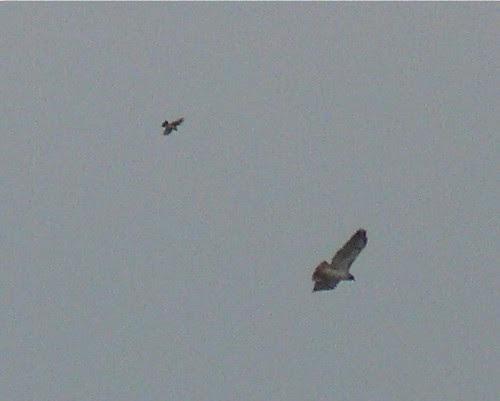Loggerhead Shrike chasing Red-tailed Hawk