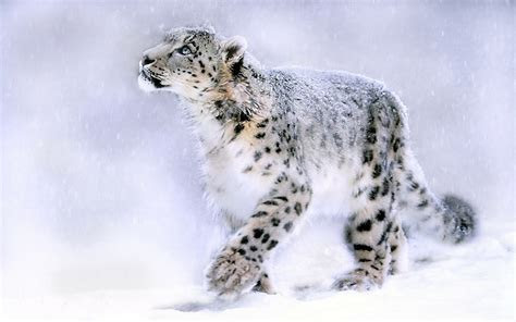 Snow Leopard Wallpapers HD Pictures ? One HD Wallpaper