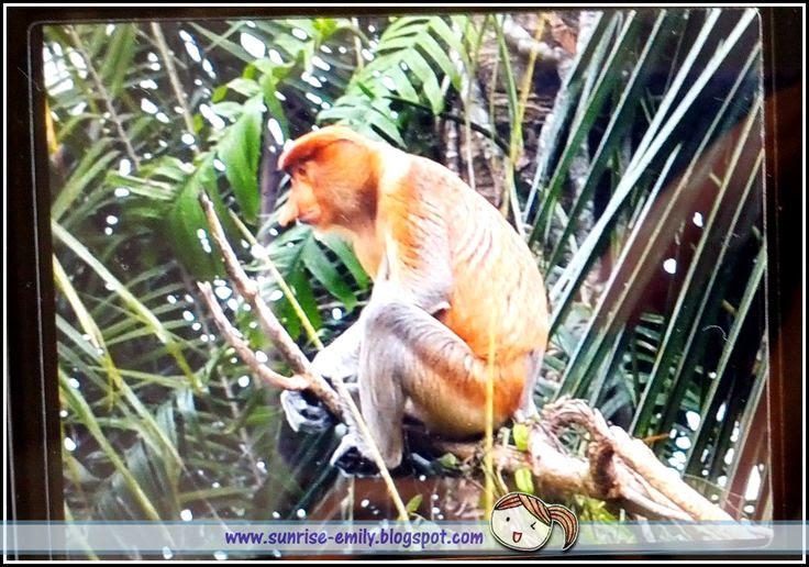 Proboscis Monkey River Cruise Tour @ Le Cruise De Kota Belud