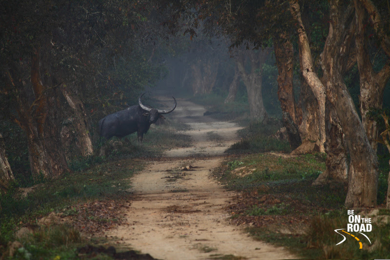 Wild Buffalo stares at us while attempting to cross the jeep track at Kaziranga National Park, Assam, India