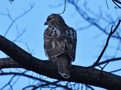 Young Red-Tail in the North Woods