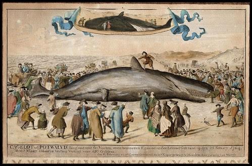 Cagelot of Potwalvis - Cornelis van Noorde, 1764