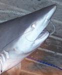 Got Shark?