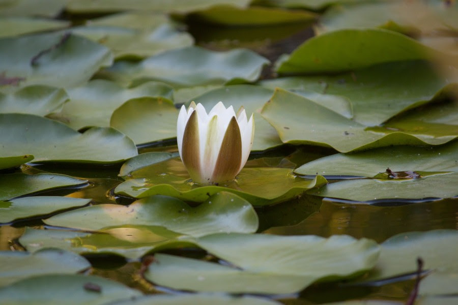 Image Of Lotus Flower Free Photo 100010099