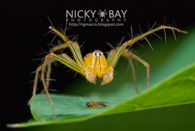 Lynx Spider (Oxyopidae) - DSC_8025
