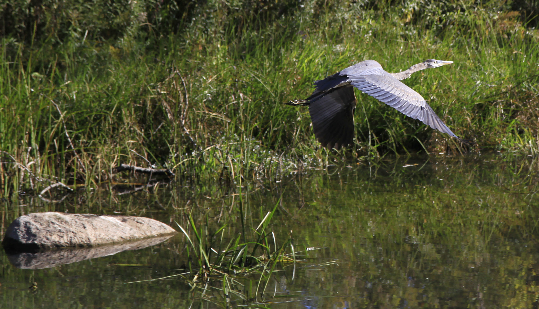 young heron4 takeoff