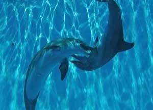 Manusia menyatakan cinta dengan bunga serta punya ritual khusus  menjelang perkawinan Cara Lumba-lumba Nyatakan Cinta