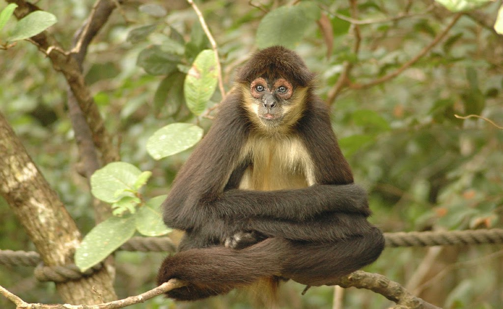 Spider Monkey Structural Hierarchy