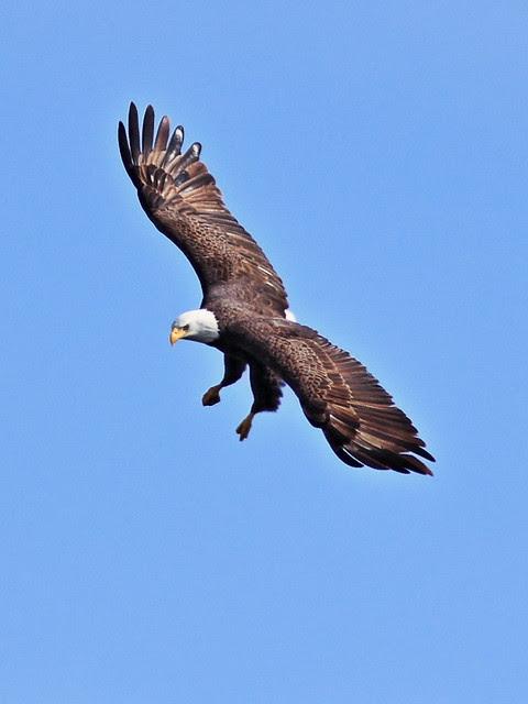 Bald Eagle female arrives 0151 PM 20140124 0151 20140124
