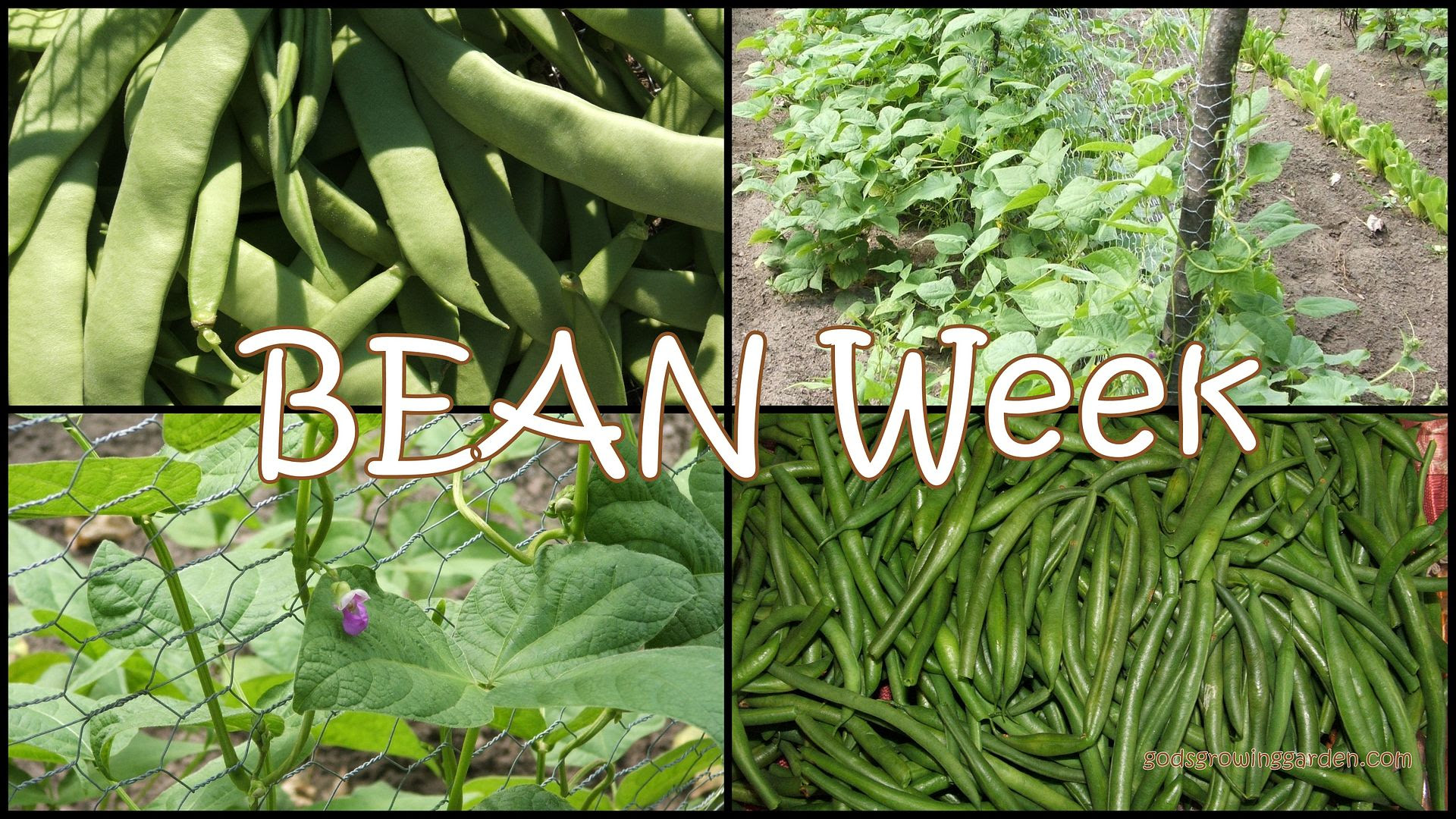 Bean by Angie Ouellette-Tower for godsgrowinggarden.com photo 2013-10-13_zps8a878b03.jpg