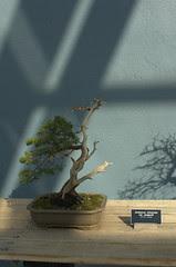 Jumiperus chinensis var. sargentii, Bonsai in literati style, BBG