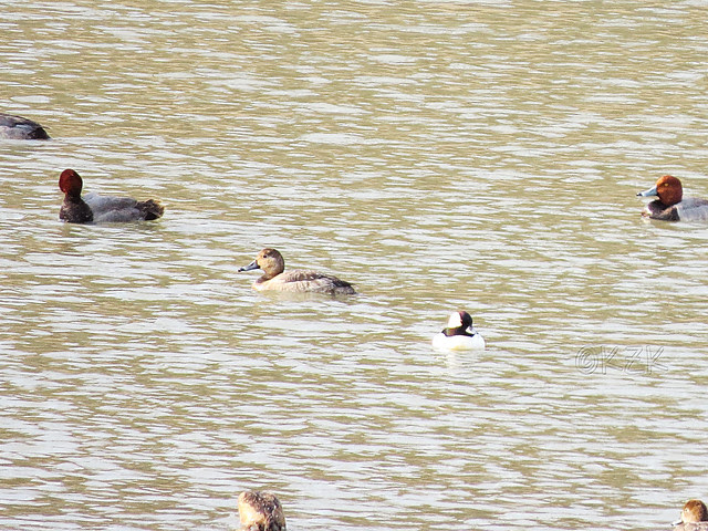 IMG_1214cps Redhead Ducks and a Bufflehead