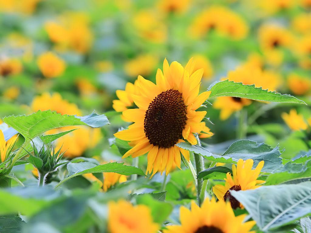 夏の花 向日葵 ヒマワリ 花の無料壁紙写真 花の無料写真素材 四季