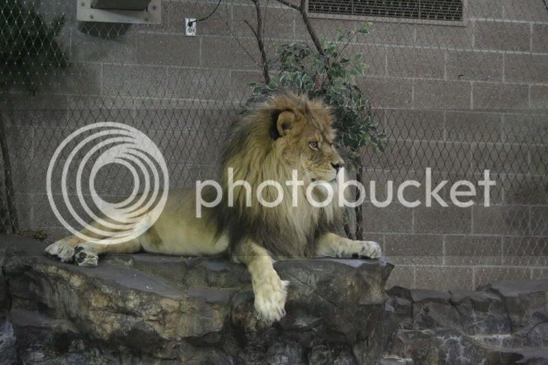 como zoo lion