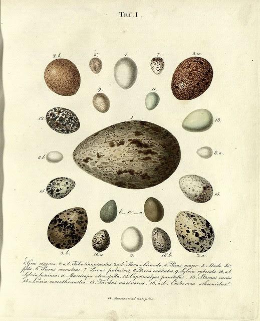 Die Eier der Vögel Deutschlands h, 1818