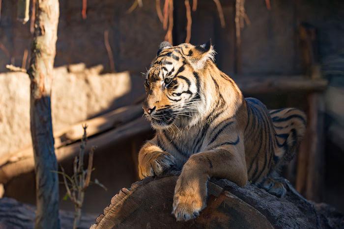 Tiger Spirit Animal Totem Meaning