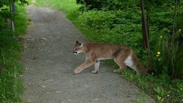 Image result for mountain lion spotted in new brunswick canada on october 5, 2016