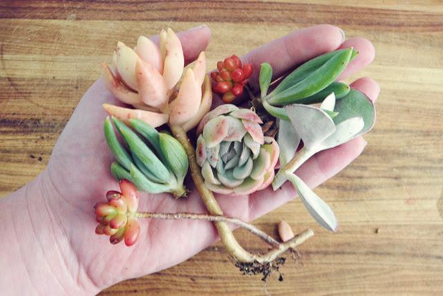 Propogating succulents