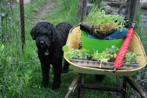 skippy and wheelbarrow 021