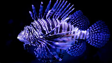wallpaper lionfish underwater hd  animals  wallpaper  iphone android mobile