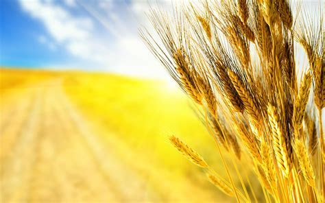 Golden wheat field   Beautiful HD wallpaper