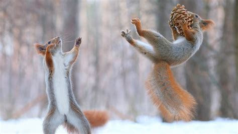 hd wallpaper squirrel playful jump