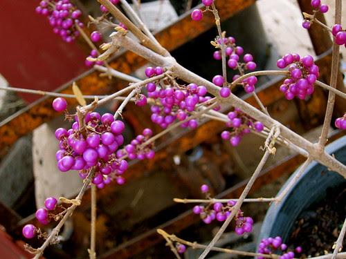 Callicapra - Winter Garden