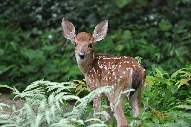 White_Tailed_Deer