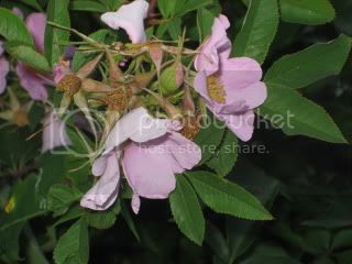 Swamp Rose