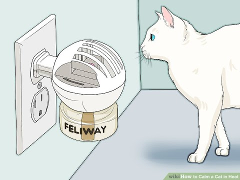What Can I Do To Help My Cat In Heat