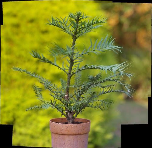 Wollemi Pine [Wollemia nobilius] as an example of a macro autostitch