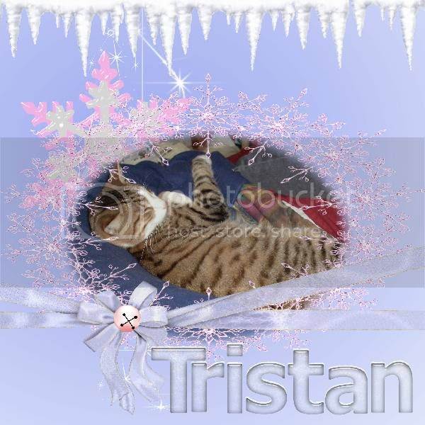 Sir Tristan,Tabby Cat,Domestic Cat,Winter,Happy Holidays
