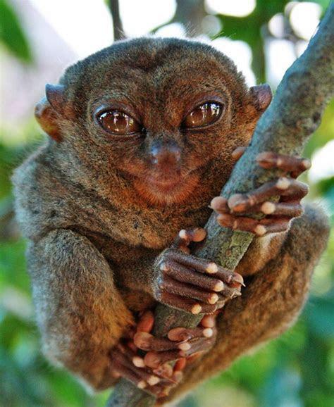 The Philippine Tarsier   The Monkey Speaks His Mind