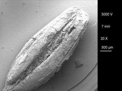 Fóssil de grão de cevada foi encontrado em escavação Foto: Divulgação