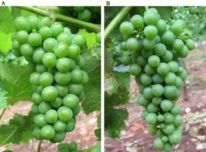 Uso de giberelinas en viticultura. Efecto sobre el Sauvignon Blanc
