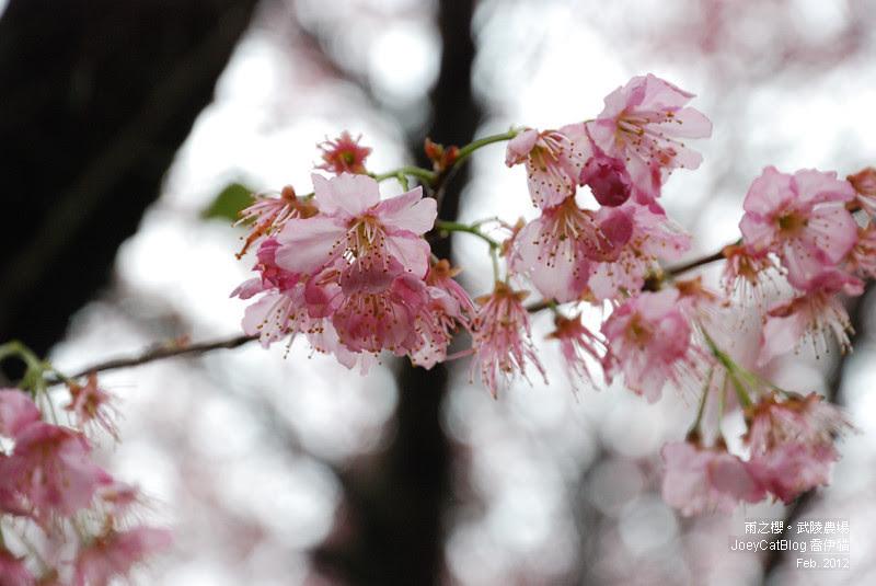 2012_0227_雨之櫻。武陵農場DSC_4341_26