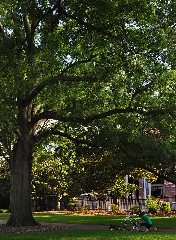 Quercus phellos (10)