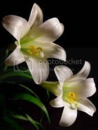 easter lily Pictures, Images and Photos