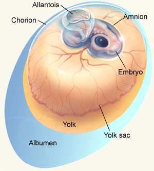 Early Embryonic Development