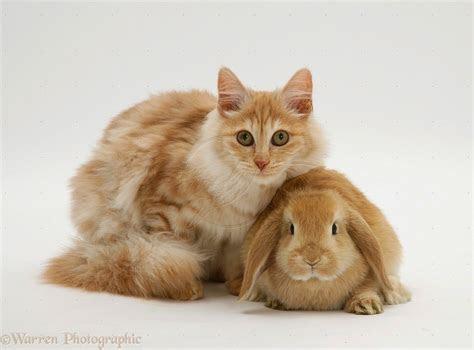 foto  gambar kucing anggora harga kucing anggora